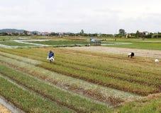 Duro lavoro vietnamita non identificato degli agricoltori nel campo della cipolla Immagine Stock