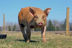 Duroc Pig Outside Royalty Free Stock Photos