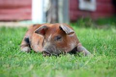 Duroc Piglet Stock Photos