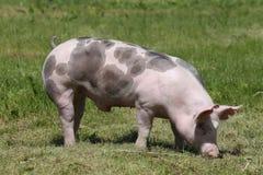 Duroc rassenbiggetje het stellen bij dierlijk landbouwbedrijf op weiland stock foto
