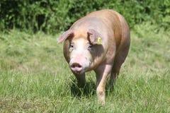 Duroc rassenvarken bij dierlijk landbouwbedrijf op weiland royalty-vrije stock afbeeldingen