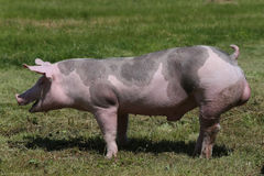 Duroc rassenvarken bij dierlijk landbouwbedrijf op weiland royalty-vrije stock fotografie