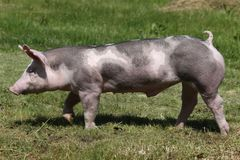 Duroc rassenvarken bij dierlijk landbouwbedrijf op weiland stock foto's