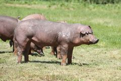 Duroc rassenvarken het stellen bij dierlijk landbouwbedrijf op weiland stock afbeelding