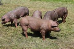 Duroc rassenvarkens bij dierlijk landbouwbedrijf op weiland royalty-vrije stock afbeeldingen