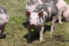 Duroc rassenvarkens bij dierlijk landbouwbedrijf op weiland stock fotografie