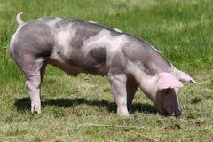 Duroc varken op de weide bij dierlijke landbouwbedrijfzomer stock afbeeldingen
