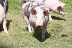 Duroc varkens die op de weide weiden royalty-vrije stock afbeelding