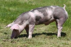 Duroc varkens op de weide bij dierlijke landbouwbedrijfzomer royalty-vrije stock foto's