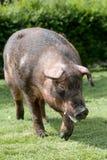 Duroc weidt het mannelijke varken op organisch biolandbouwbedrijfhuishouden royalty-vrije stock foto