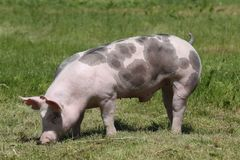 Duroczuchtferkel, das an der Farm der Tiere auf Weide aufwirft stockfotos