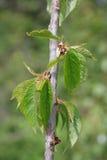 Durone Nero di Vignola III Cherry Tree Fotografie Stock