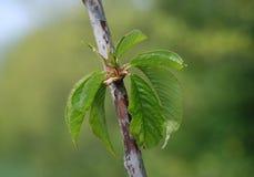 Durone Nero di Vignola III Cherry Tree in primavera Immagini Stock