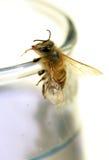 Durstige Biene Stockfoto