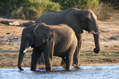 Durstige Elefanten Stockfoto