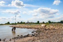 Durstige junge Kuh trinkt Wasser vom Fluss Stockbild