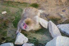 Durstiger japanischer Makaken/Schnee-Affe Stockfotos