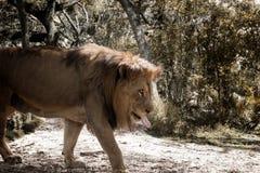 Durstiger Löwe geht unter getrocknetem Laub Lizenzfreie Stockbilder