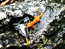 Durstiger orange Salamander stockbild