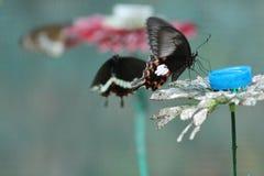 Durstiger Schmetterling Lizenzfreie Stockfotografie