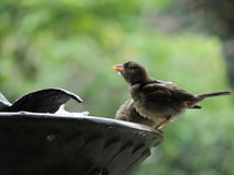 Durstiger Vogel Stockfoto