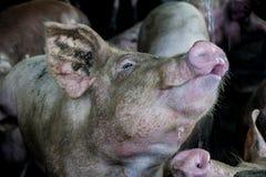 Durstiges Schwein im Bauernhof stockfoto
