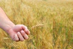 Durum Wheat Stock Photo