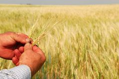 Durum Wheat in Farmer's Hands. Hard working farmer's hands inspecting heads of Durum Wheat. Focus is on hands and the individual heads, the crop in a golden sea Stock Photos