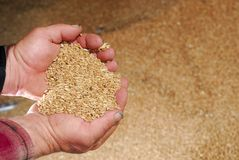 Durum Wheat in Farmers Hands Royalty Free Stock Photography