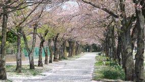 Dusch av fallande körsbärsröda blomningar lager videofilmer