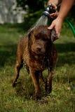 Dusche für Schokolade Labrador Stockfoto