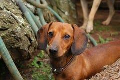 Dushhound Stockfoto