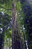 Dusiciel figa wspina się wysokiego tropikalnego lasu deszczowego drzewa Zdjęcie Stock