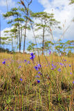 Dusita(Utricularia. delphinioides),meadows and Merkus pines at Thung Non Son Royalty Free Stock Photo