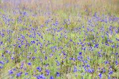 Dusita& x28; 狸藻 delphinioides& x29;并且非Thung儿子的草甸在Thung Salaeng Luang国家公园 免版税库存图片