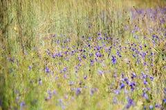 Dusita& x28; 狸藻 delphinioides& x29;并且非Thung儿子的草甸在Thung Salaeng Luang国家公园 免版税库存照片