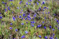 DusitaUtricularia delphinioides και λιβάδια στο γιο Thung μη στο εθνικό πάρκο Thung Salaeng Luang, Phitsanulok, Ταϊλάνδη Στοκ Εικόνα