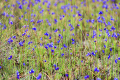 DusitaUtricularia. delphinioides and meadows at Thung Non Son Royalty Free Stock Photos