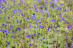 DusitaUtricularia. delphinioides and meadows at Thung Non Son Royalty Free Stock Image