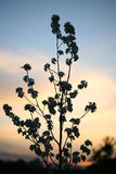 Dusk. Silhouette of wild flower plant in field at sunset and dusk Royalty Free Stock Photography