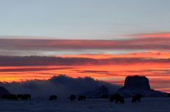 A herd of buffalo grazing at sunset, with Chief mountain in the horizon. Dusk is beginning to fall and the horizon is full of amazing colors.  Oranges, blues Royalty Free Stock Image
