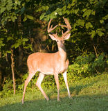 Dusk buck Stock Images