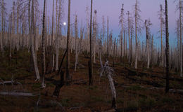 Dusk in a Burned Pine Forest in Central Oregon. The moon shines brightly through a burned section of pine forest on the Pacific Crest Trail in central Oregon Royalty Free Stock Photography