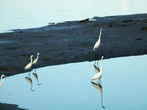 Egrets roost for food at shenzhen bay beach. Royalty Free Stock Photos