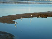 Egrets roost for food at shenzhen bay beach. Stock Photography