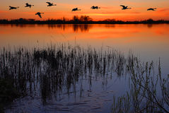 Dusk by the lake. With a flock of flying ducks Stock Images