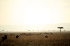 Dusk in the Masai Mara Royalty Free Stock Photography