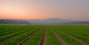Dusk at an onion farm Stock Photos