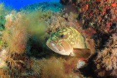 Dusky морской окунь Стоковая Фотография