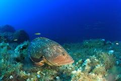 Dusky морской окунь Стоковое Фото
